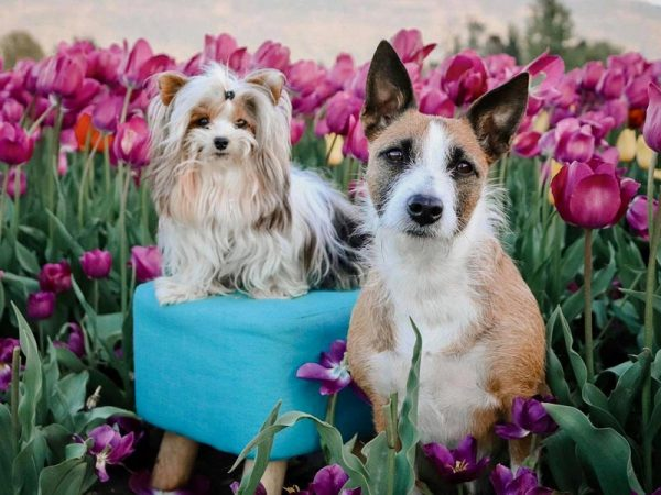 dogs posing with tulips